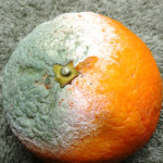 Mold in orange