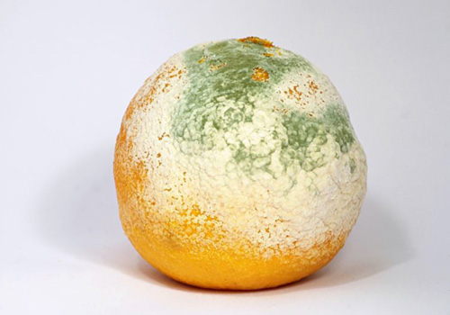 Orange mold in orange
