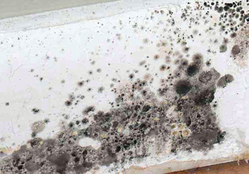 black mold allergy