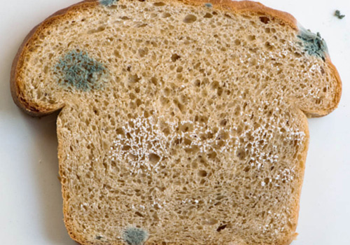 mold on bread experiment