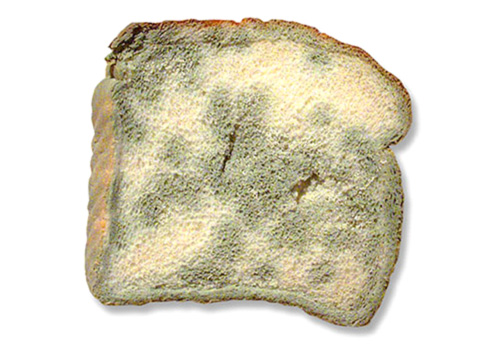 mold on bread facts
