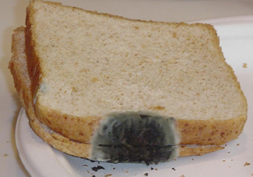 mold on bread science project