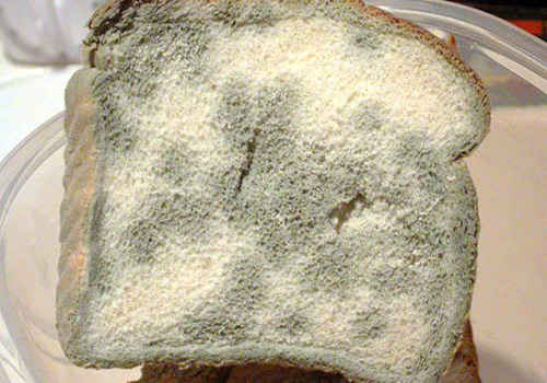 mold on food science fair project