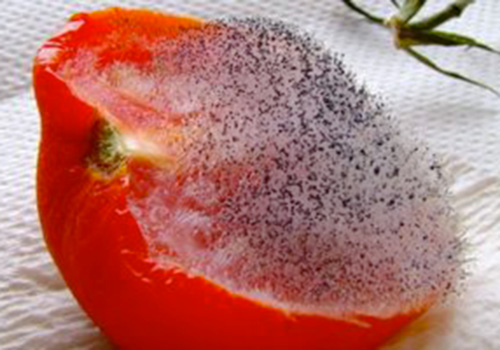 mold on food what causes it