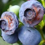 Prevent Orange Mold on Blueberries That's Harmful to Eat