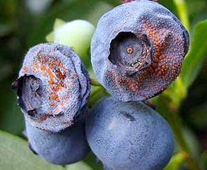 Orange Mold On Blueberries