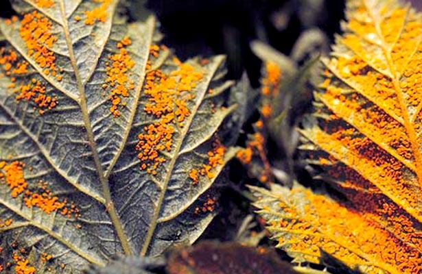 orange fungus on raspberry plants