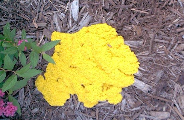 orange mold growing mulch