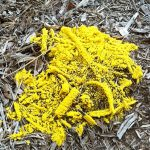 Moldy Mulch? Yellow Slime Mold? Here's The Facts